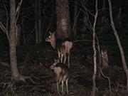 知床半島 夜の動物ウォッチング